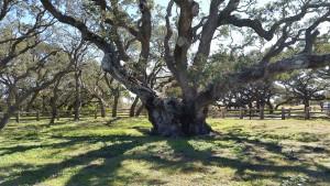 Big-Tree-11