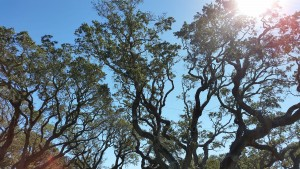 Big-Tree-12