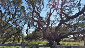 Big-Tree-13