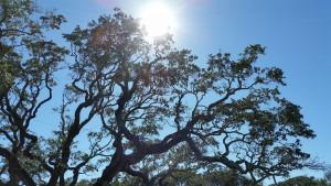 Big-Tree-15