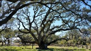 Big-Tree-16