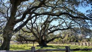 Big-Tree-17