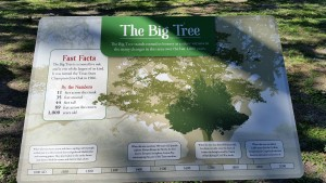 Big-Tree-2