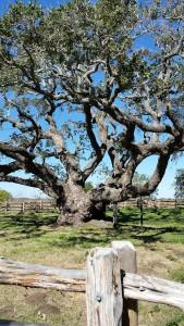 Big-Tree-51