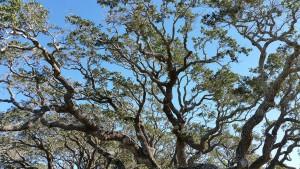 Big-Tree-7
